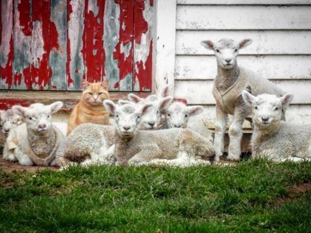 Рыжеватый кот возглавил стадо овец в новейшей Зеландии
