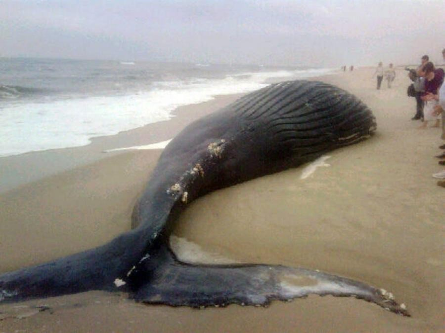 Несколько китов выбросились наберег насевере Чили, заявляют ученые