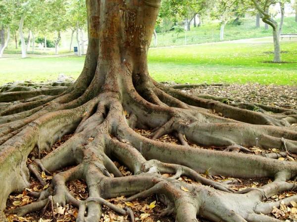 Ученые: Деревья общаются друг с другом с помощью корней