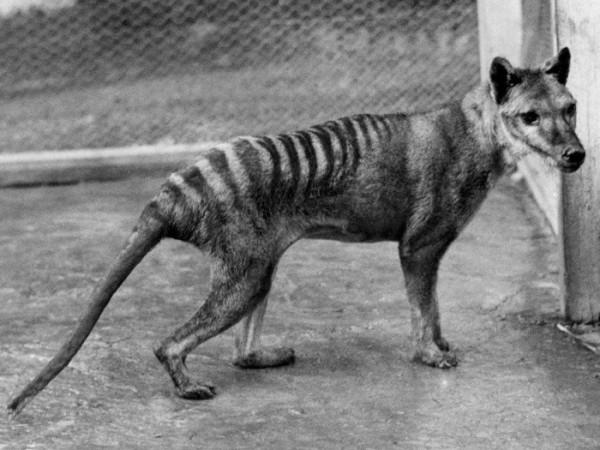 Считавшееся давно вымершим животное попало в Австралии в объектив видеокамеры