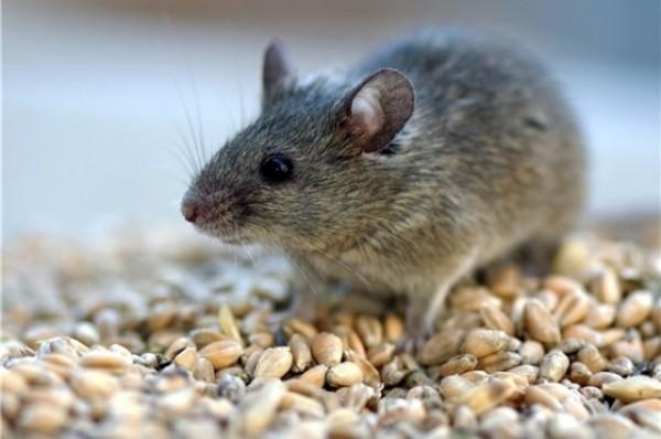 Ученые с помощью мышей установили, как мозг распознает специфические запахи