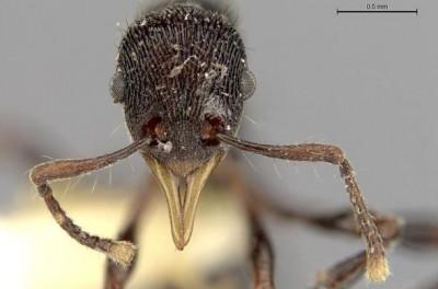 Новый вид муравьёв учёные нашли в желудке эквадорской лягушки