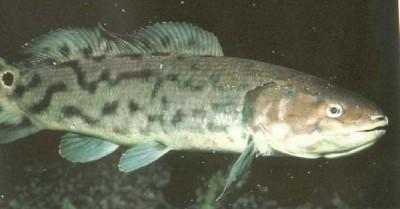 Самые успешные представители рыб не всегда доминировали над другими