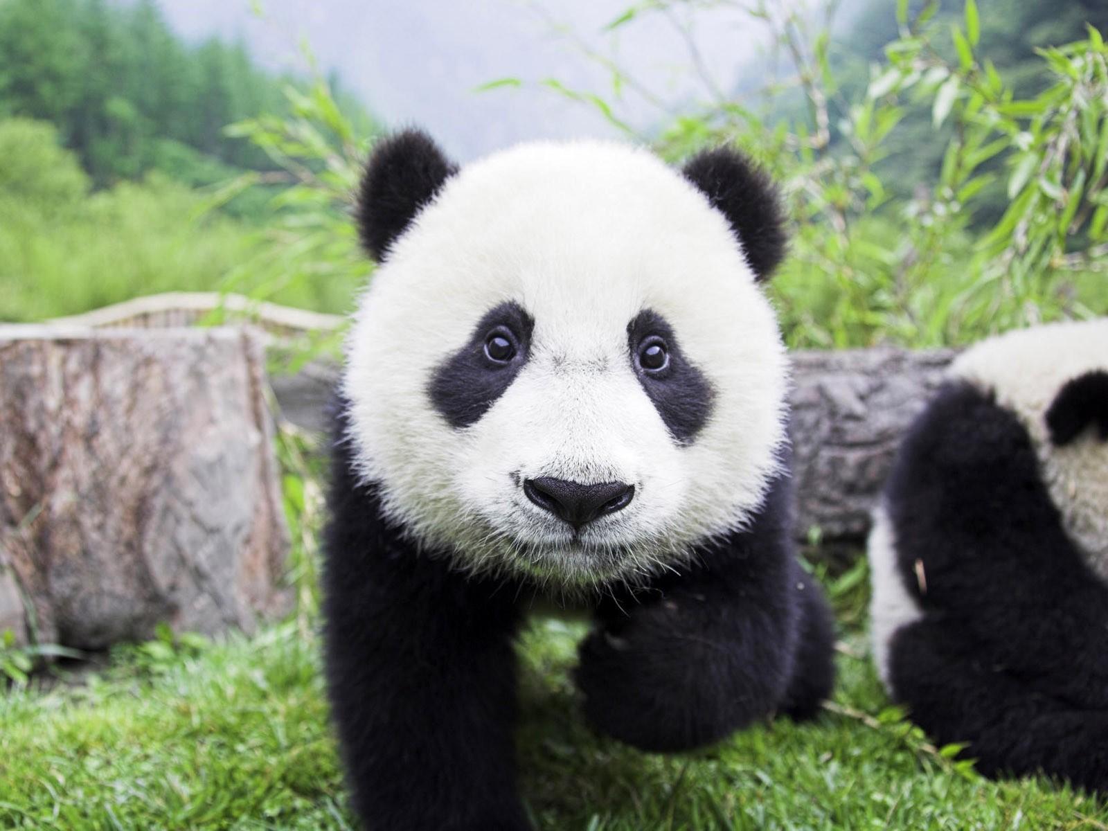 ВМосковский зоопарк обещали привезти панд
