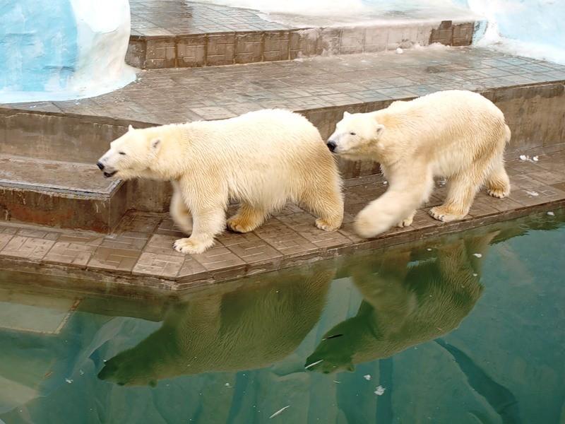 ВЛенинградском зоопарке скончался 27-летний белый медведь Меншиков