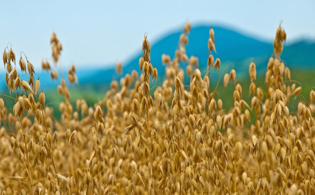 Постоянное употребление овса понижает уровень холестерина