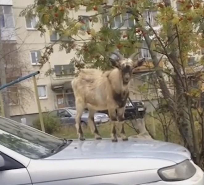 НаУрале козёл забрался накапот авто, чтобы поесть рябины