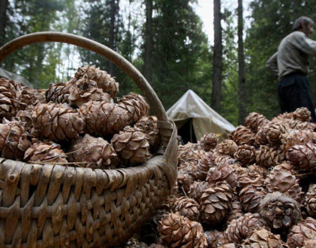 Жителя Кузбасса задержали закражу 800кг кедровых шишек