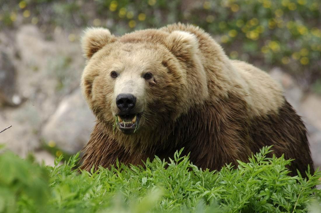 Медведь загрыз мужчину вяпонской префектуре Нагано