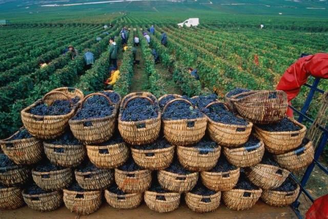 2016 год для виноделов будет худшим запоследние 20 лет