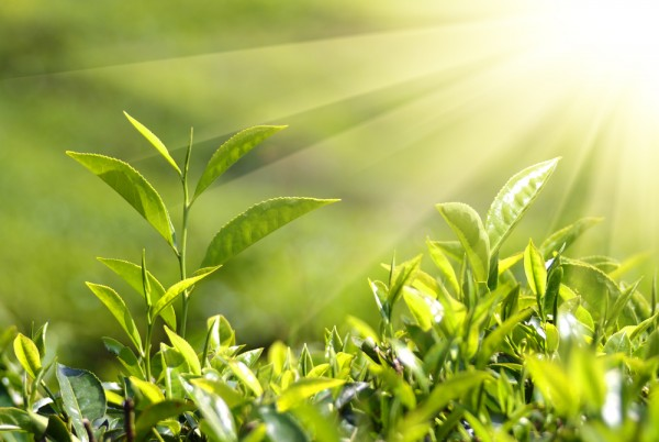 Под стрессом растения не подчиняются влиянию циркадных часов