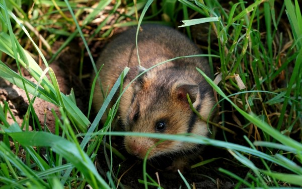 Ученые: Полевые мыши способны считать