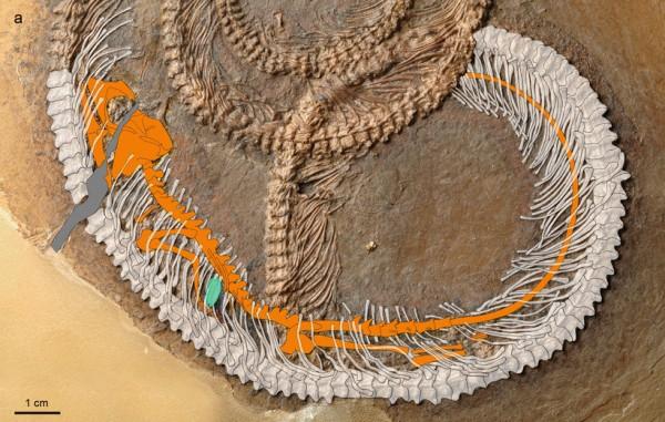 Палеонтологи обнаружили насекомое в животе ящерицы, которую съела змея