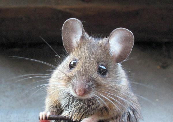 Учёные: Мыши чувствуют боль друг друга