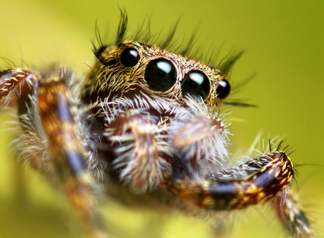 Ученые: Пауки слышат людей на существенном расстоянии