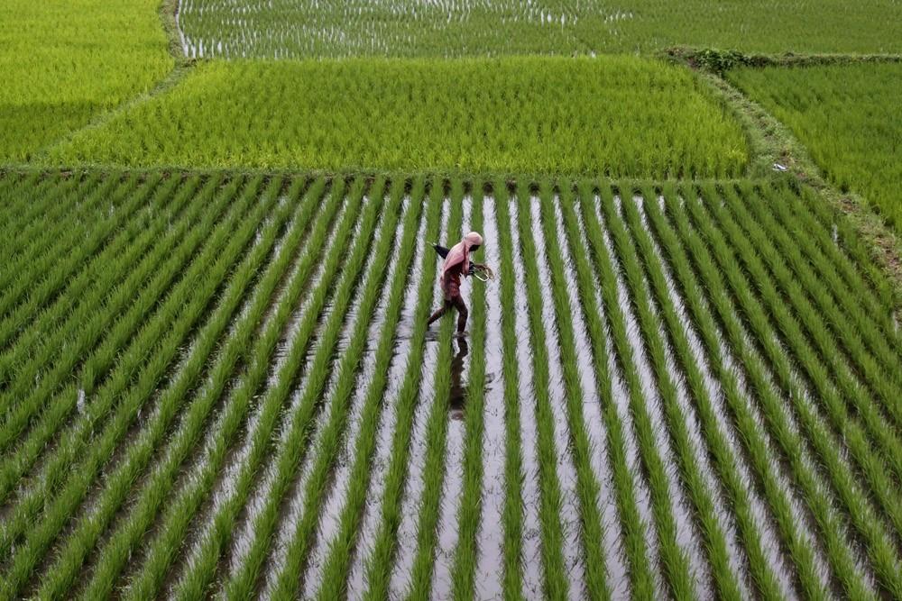 Рис вАзии начали растить намного доэтого, чем предполагалось