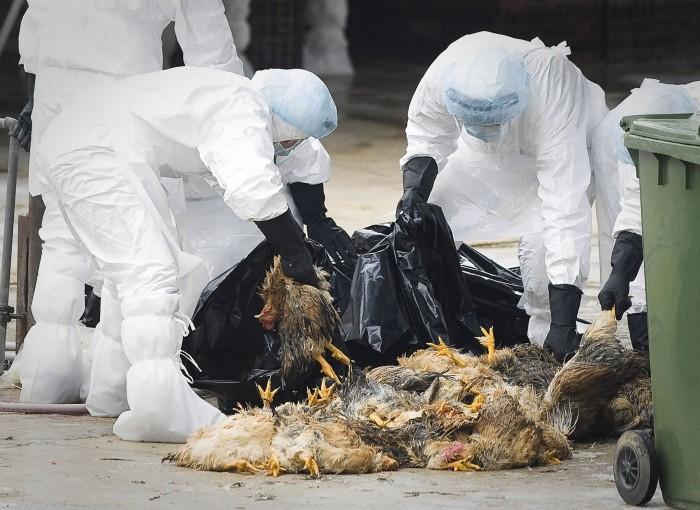 Россельхознадзор предупредил онадвигающейся на РФ эпидемии птичьего гриппа