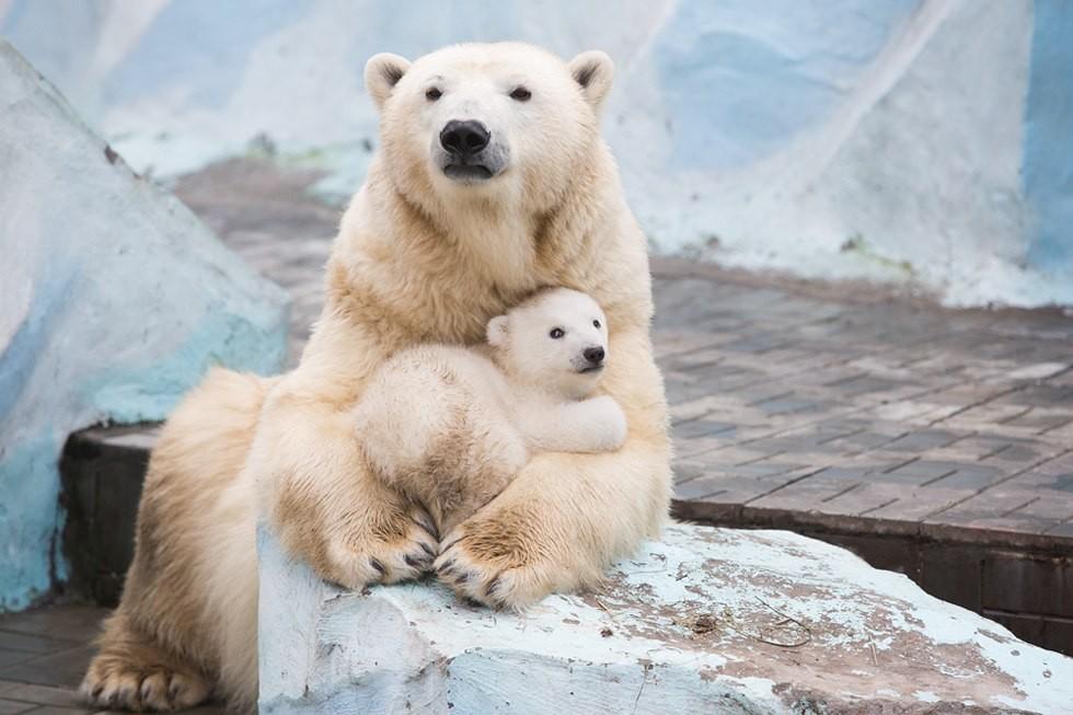 Взоопарке Берлина медведица Тоня съела своего давно ожидаемого детёныша