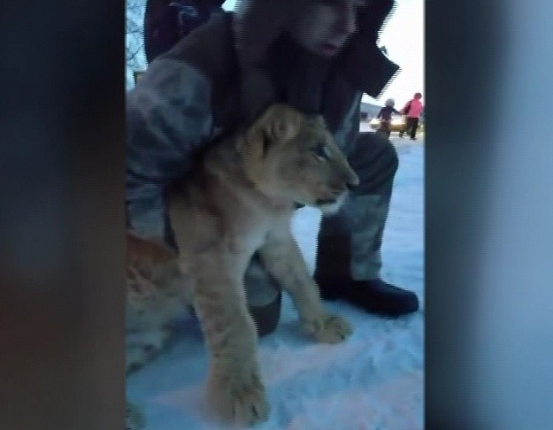ВХанты-Мансийске изцирка убежал львенок
