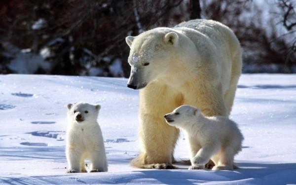 Ученые из РФ и США исследуют популяцию белых медведей на Чукотке