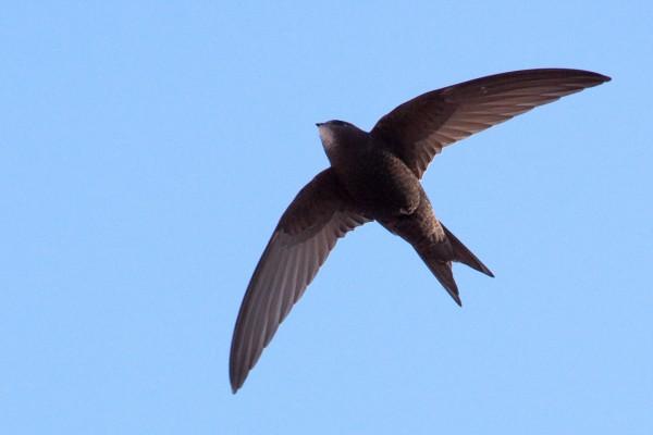 Ученые: Черные стрижи стали рекордсменами по продолжительности полета