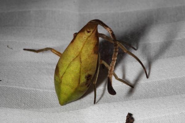 В Китае ранее не известный вид пауков маскируеся под опавшие листья