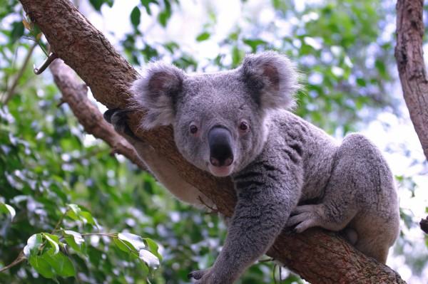 Переход на летнее время убережет коал от автомобилистов