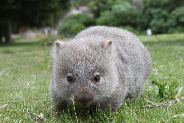 Маленький вомбат из Сиднея становится всё более популярным в сети