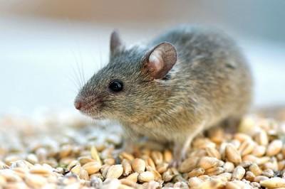 Ученые вывели устойчивых к радиации мышей