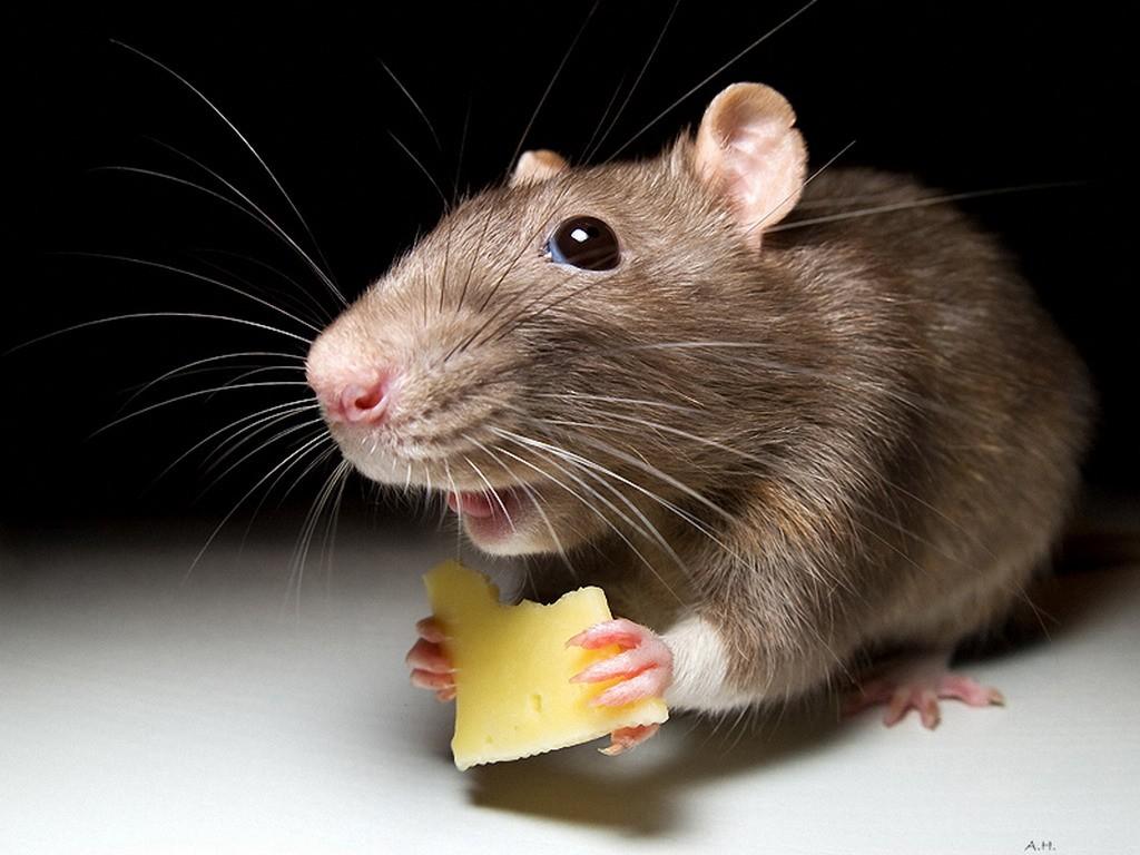 Мыши могут определять уровень кислорода ввоздухе— Ученые
