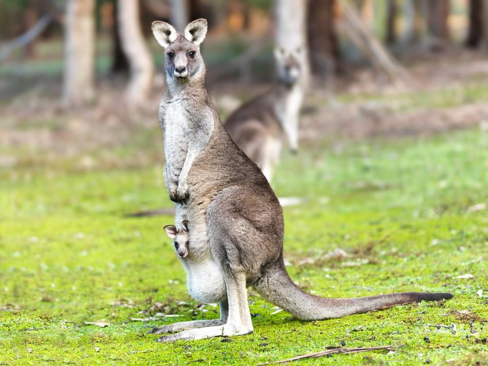 Этот мужчина дал поморде кенгуру, спасая собаку. Ачего добились вы?
