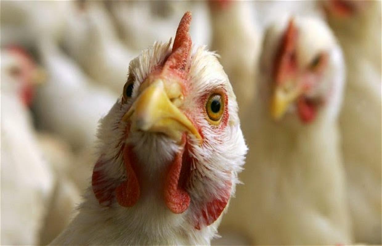 Вевропейских странах вероятна вспышка птичьего гриппа— Роспотребнадзор