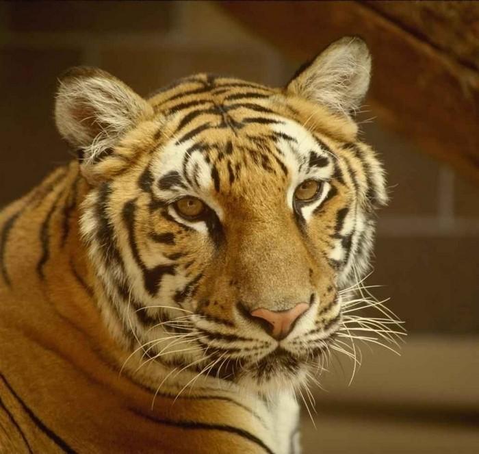 Из Ленинградского зоопарка сбежала тигрица