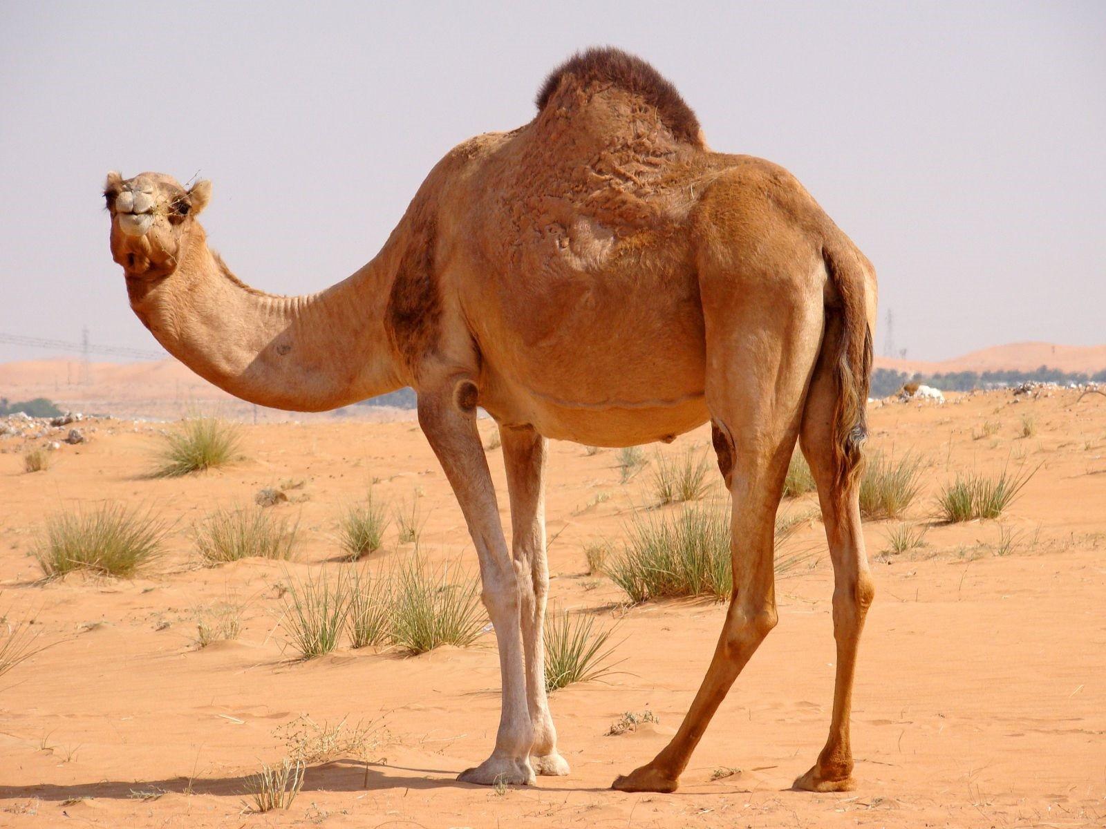 Ученые отыскали втеле верблюдов лекарство отрака