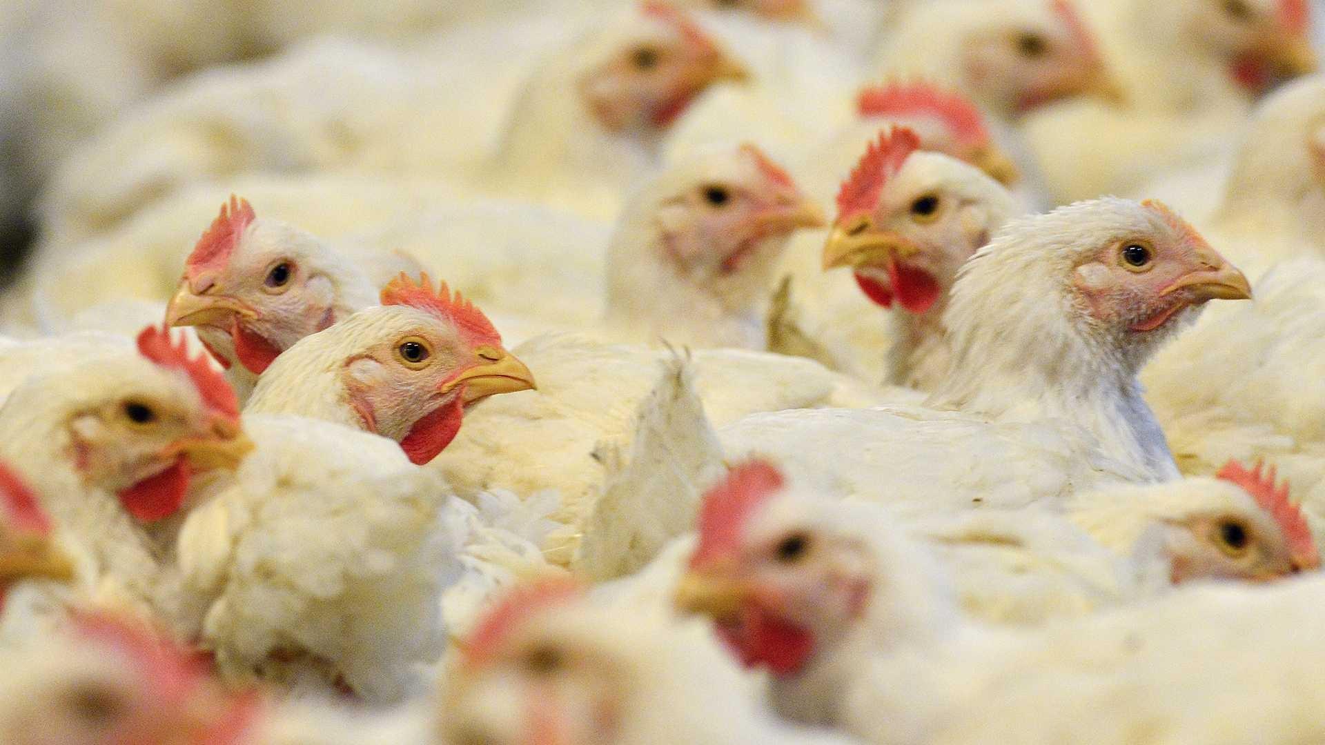 Ужителя Шанхая выявлен штамм птичьего гриппа H7N9