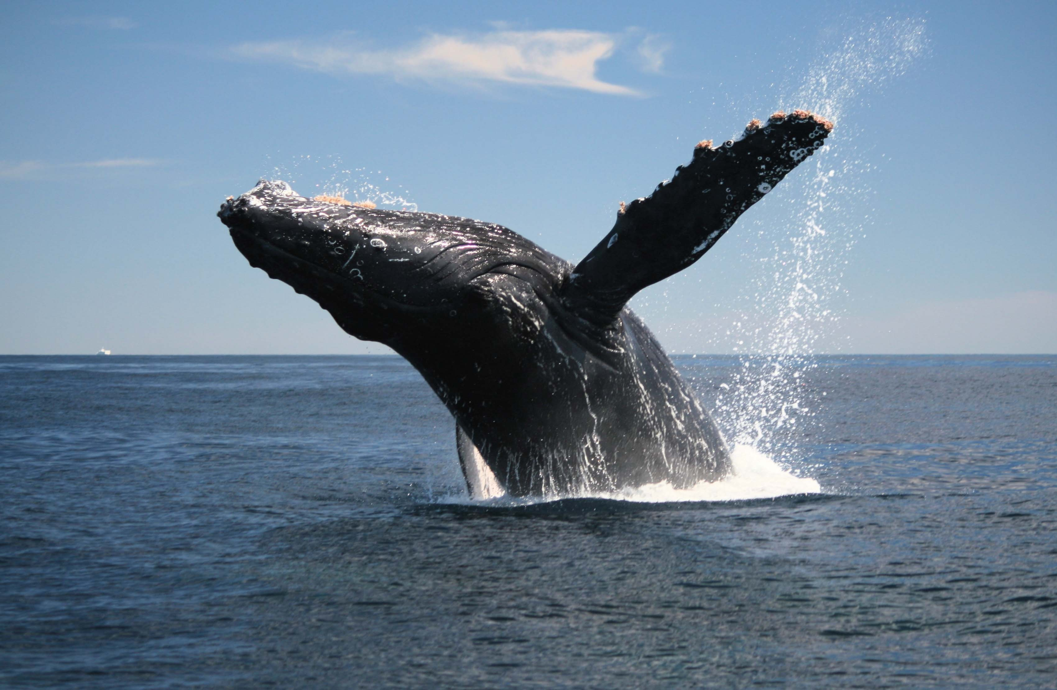 Ученые узнали, зачем киты выпрыгивают изводы