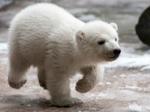 Под угрозой вымирания оказалась треть белых медведей из-за таяния льда