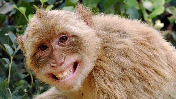 Ученые выяснили, что обезьяны обладают способностью разговаривать