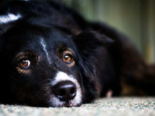 Собаки седеют из-за стрессовых ситуаций