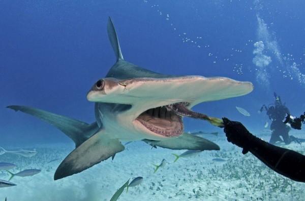 В дельфинарии Новосибирска появилась акула-молот