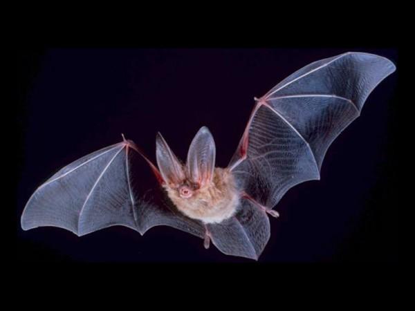 Ученые: Летучая мышь перед тем, как обратиться к другой, называет её имя