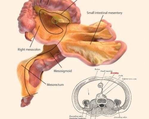 Ученые обнаружили новый орган вбрюшной полости человека