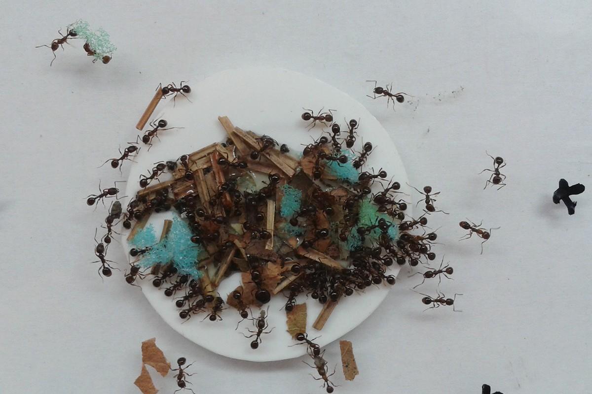 Ученые: муравьи благоразумнее, чем считалось доэтого