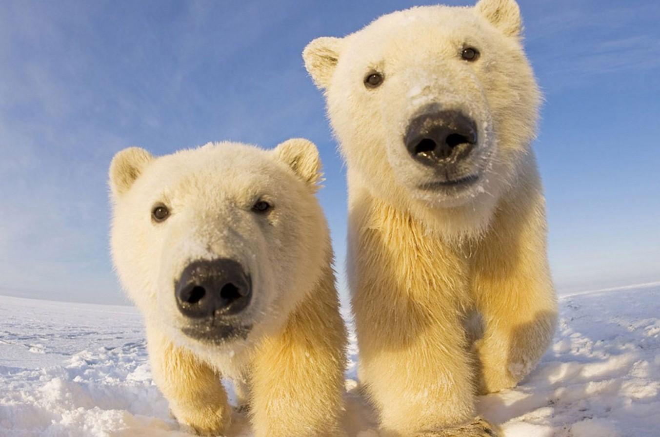 Ученые предлагают провести перепись белых медведей вАрктике