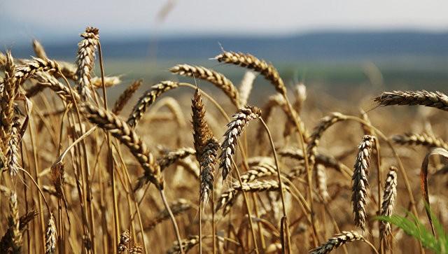 В КНР отыскали обугленные семена пшеницы возрастом 2,8 тыс. лет