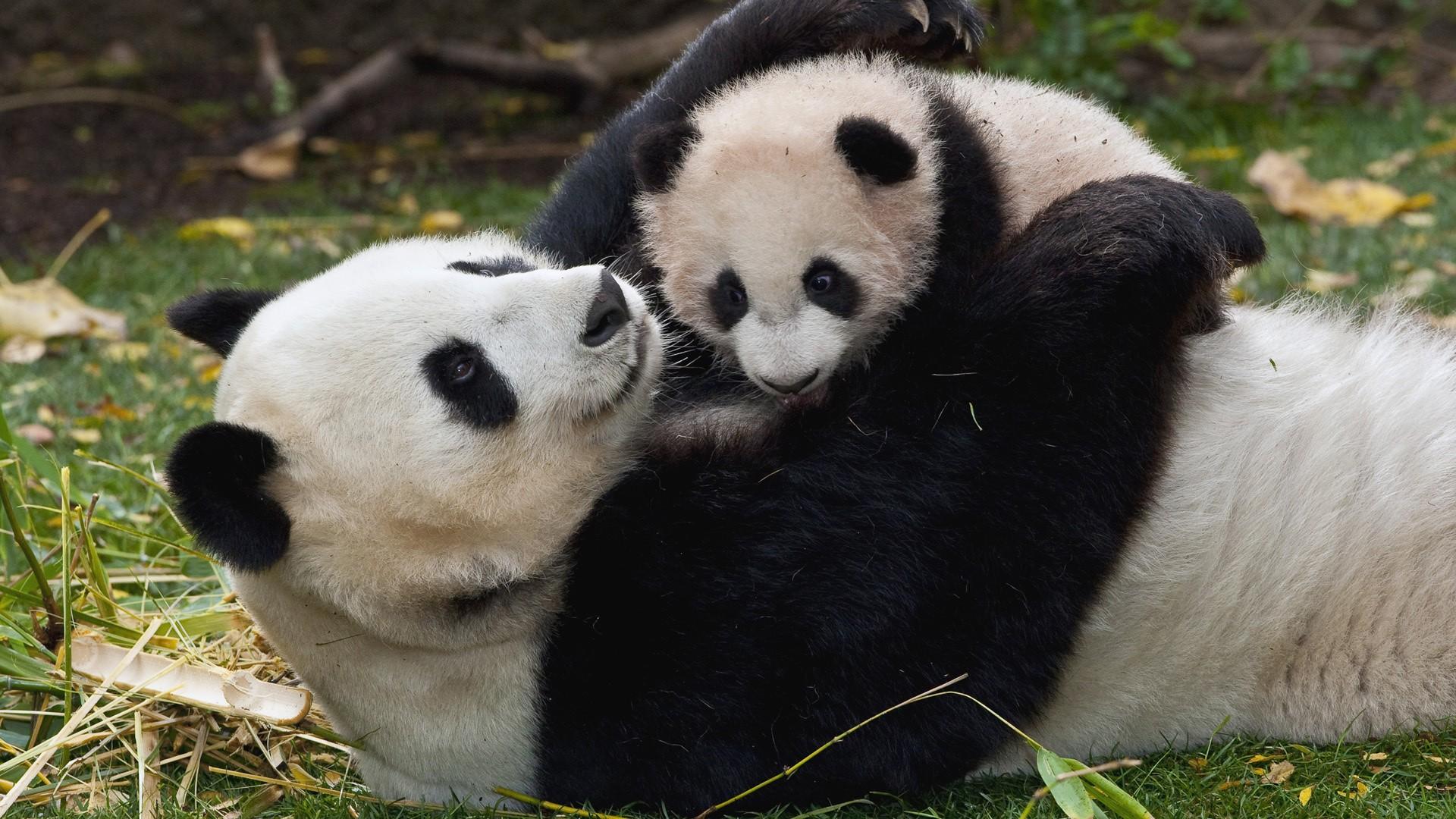 Самка панды сдетенышем погибла отпанкреатита вКитайской республике