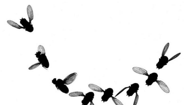 Русские ученые вырастили наМКС мух-дрозофил