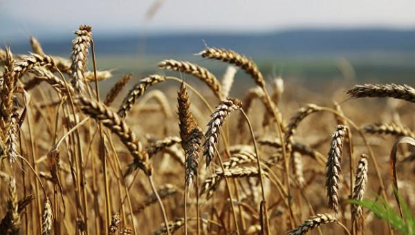 В Китае археологи нашли зёрна пшеницы с возрастом почти в 3 тысячи лет