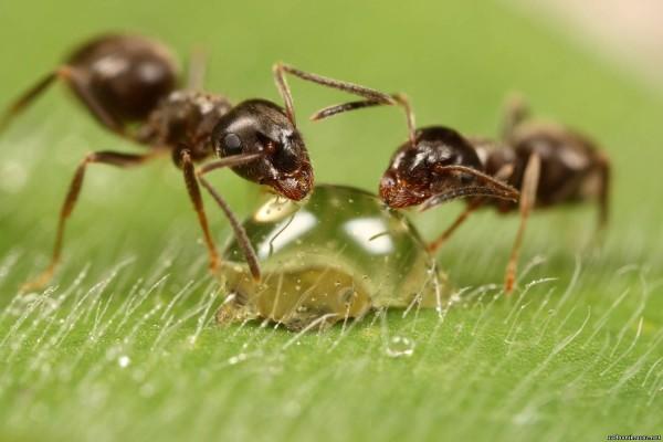 Учёные создали первых в мире генетически модифицированных муравьёв
