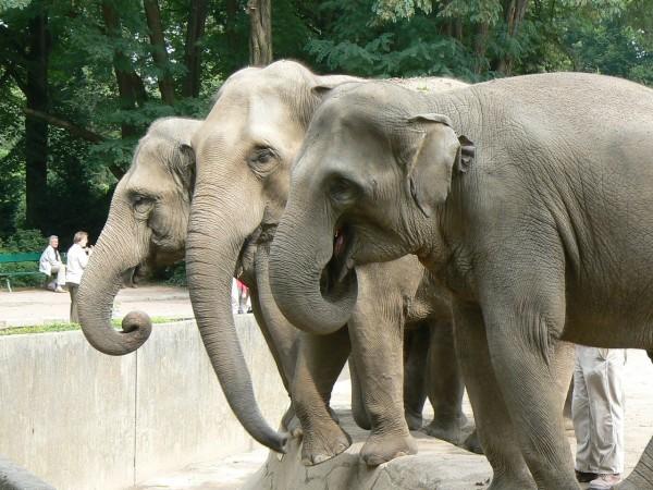 Зоологи: азиатский слон возглавляет рейтинг самых заботливых животных